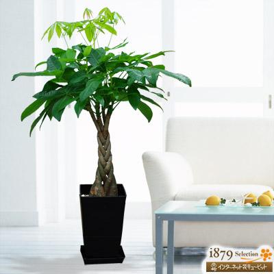 【産直 観葉植物(通年)】パキラ(黒鉢)ぽってりとした幹と手を広げたような形をした葉がかわいいです。