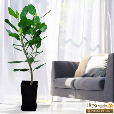 【産直 観葉植物(通年)】ベンガレンシス(黒鉢)いきいきと生命力あふれる観葉植物は、運気UPのカギ!