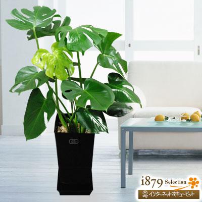 【産直 観葉植物(通年)】モンステラ(黒鉢)大きなハート型の葉に不規則な切れ込みが特徴の「モンステラ」