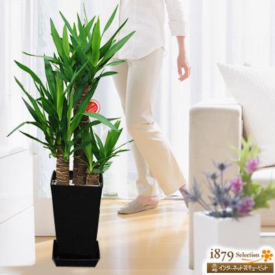 【産直 観葉植物(通年)(法人)】ユッカエレファンティペス 青年の樹(黒鉢)