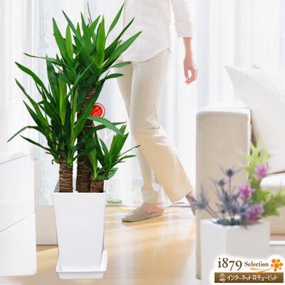 【産直 観葉植物(通年)】ユッカエレファンティペス 青年の樹(白鉢)未来に向かって力強く伸びる若者の象徴!