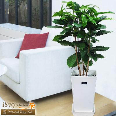 【産直 観葉植物(通年)】コーヒーの木(白鉢)コーヒーの木を育ててみませんか?