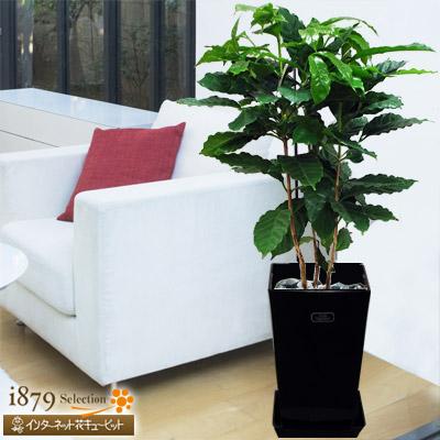 【産直 観葉植物(通年)(法人)】コーヒーの木(黒鉢)