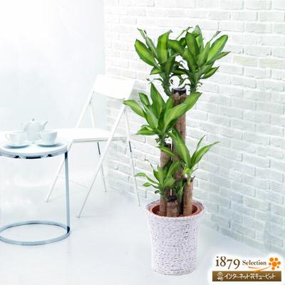【産直 観葉植物(通年)】ドラセナ (バスケット)明るいレモンライム色の葉がお部屋を明るくする植物です。