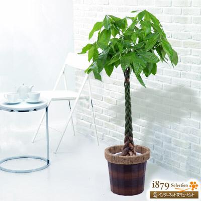 【産直 観葉植物(通年)】パキラ (バスケット)育てやすく、なんと言っても大人気の観葉植物です。