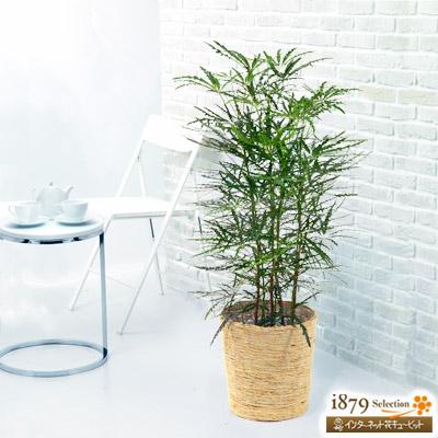 【産直 観葉植物(通年)(法人)】アラレア (バスケット)
