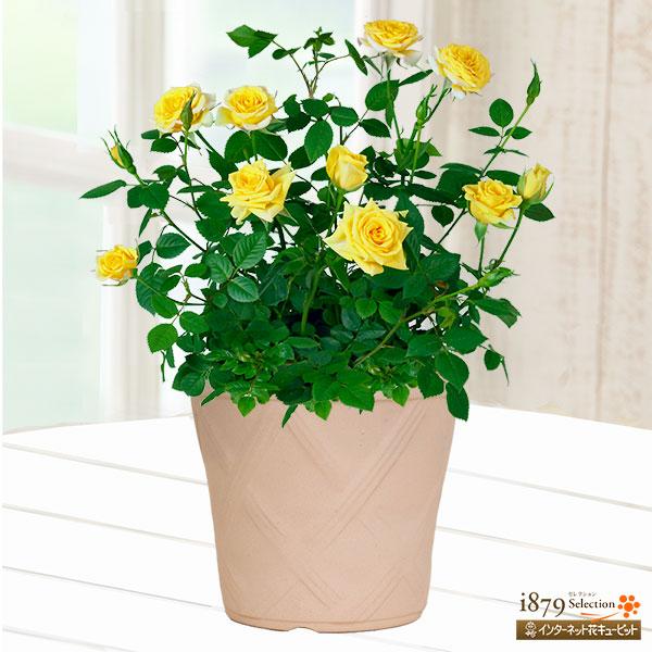 【父の日産直ギフト】バラ スウィートダイアナ(陶器鉢)可愛らしい黄色のミニバラ!