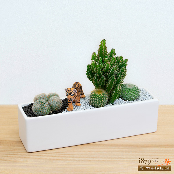 【産直 サボテン・多肉植物】サボテン寄せ植え(トラ)まるで子トラの狩りのワンシーンのような寄植