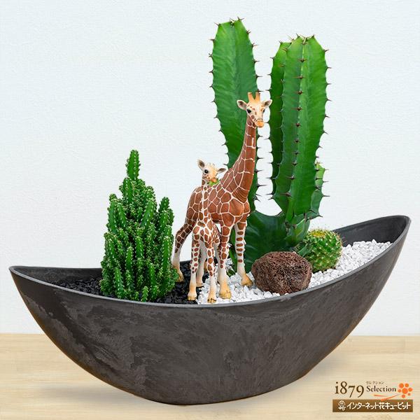 【産直 サボテン・多肉植物】サボテン寄せ植え(キリンの親子)自然界の一部を切り取ったような、迫力のある多肉植物の寄植