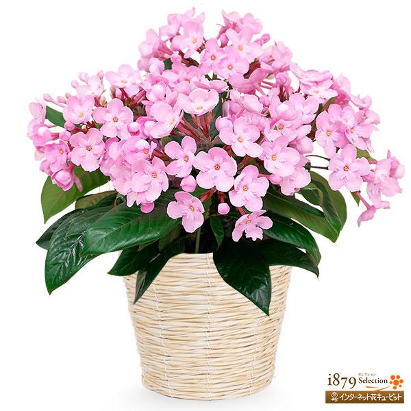 【敬老の日 産直ギフト】敬老の日限定「におい桜」(ココ)登坂園芸オリジナル品種の和の趣と華やかさが魅力の人気の花鉢