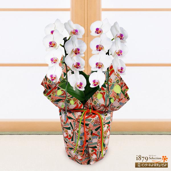 【敬老の日 産直ギフト】ミディ胡蝶蘭 タイアン(2本立ち)千代紙ラッピング縁起の良い白と赤のコントラストが美しい胡蝶蘭