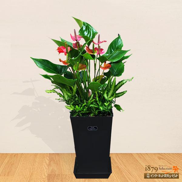 【産直 観葉植物(通年)】アンスリウムピンク(黒鉢)大人気のアンスリウムピンク、ギフトにおすすめです!