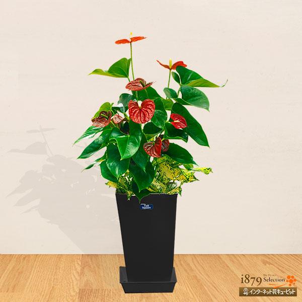 【産直 観葉植物(通年)】アンス赤&ゴット寄せ(黒鉢)真っ赤なハート型がポイント!
