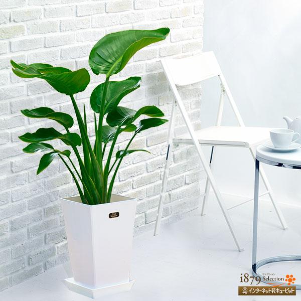 【産直 観葉植物(通年)】オーガスタ(白鉢)生命力あふれるダイナミックで大きな葉が魅力的!