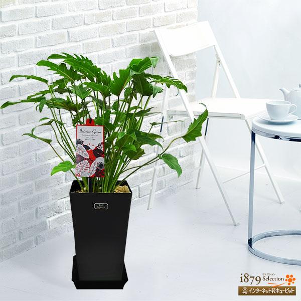 【産直 観葉植物(通年)】クッカバラ(黒鉢)エキゾチックな葉は、ワンランク上のお部屋を演出してくれます。