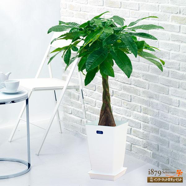 【産直 観葉植物(通年)】パキラ(白鉢)ぽってりとした幹と手を広げたような形をした葉がかわいいです。