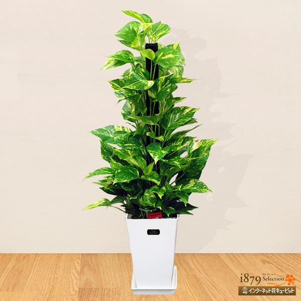 【産直 観葉植物(通年)】ポトスのヘゴ(白鉢)人気のある定番の観葉植物「ポトスヘゴ」