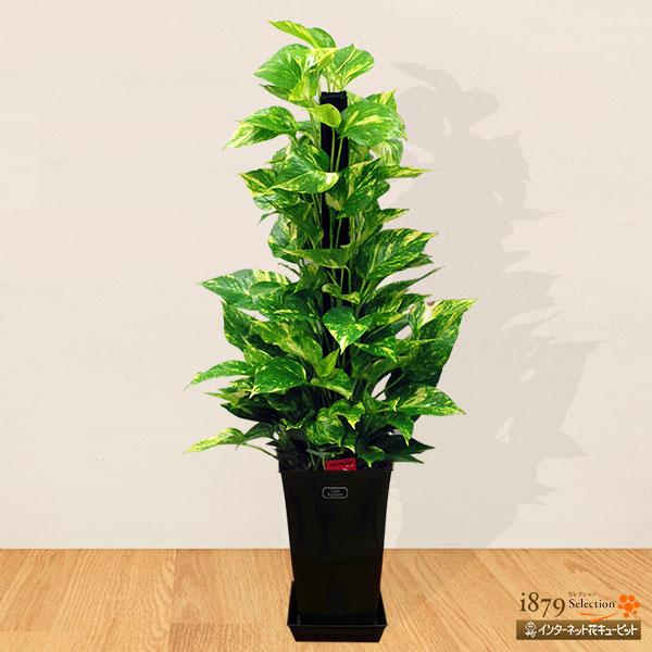 【産直 観葉植物(通年)】ポトスのヘゴ(黒鉢)人気のある定番の観葉植物「ポトスヘゴ」