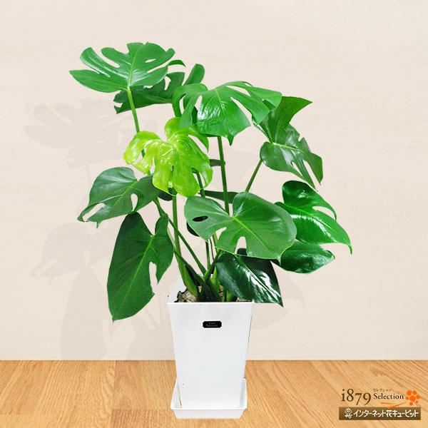 【産直 観葉植物(通年)】モンステラ(白鉢)大きなハート型の葉に不規則な切れ込みが特徴の「モンステラ」