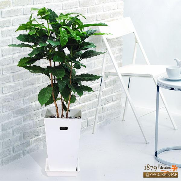 【産直 観葉植物(通年)(法人)】コーヒーの木(白鉢)