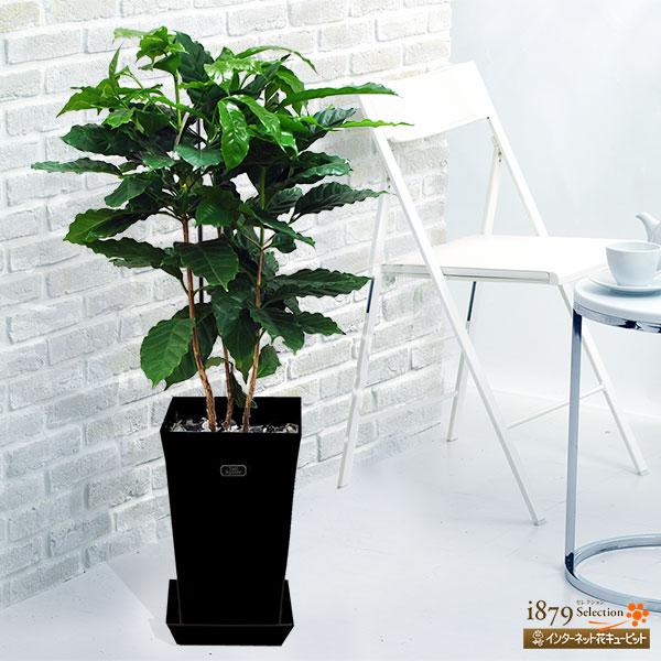 【産直 観葉植物(通年)】コーヒーの木(黒鉢)コーヒーの木を育ててみませんか?