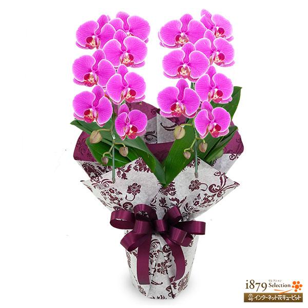 【モテギ洋蘭園胡蝶蘭・お祝い】ミディ胡蝶蘭 濃ピンク 2本立ち(16輪前後)存在感のある濃いピンク色のミディ胡蝶蘭