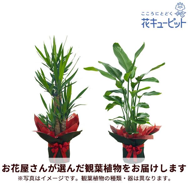 【お花屋さんがお届け!観葉植物(法人)】観葉植物(おまかせ)