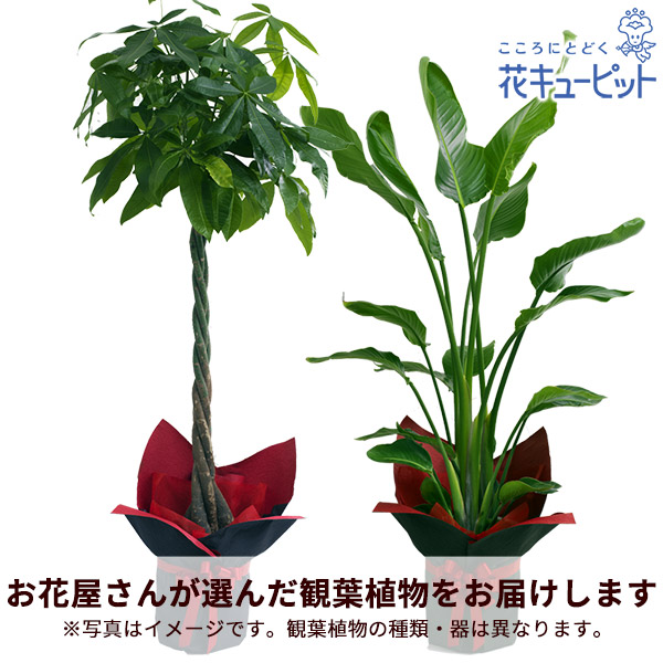 【お花屋さんがお届け!観葉植物】観葉植物(おまかせ)お祝いギフトやご自宅用に♪季節に合った観葉植物をお届けします