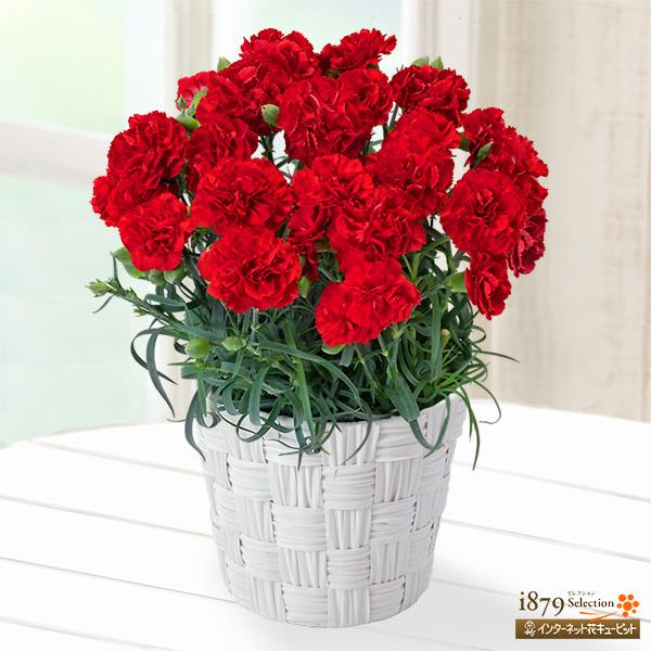 【母の日 産直ギフト】幸せの赤カーネーション鉢人気NO.1!母の日の定番 赤いカーネーション♪