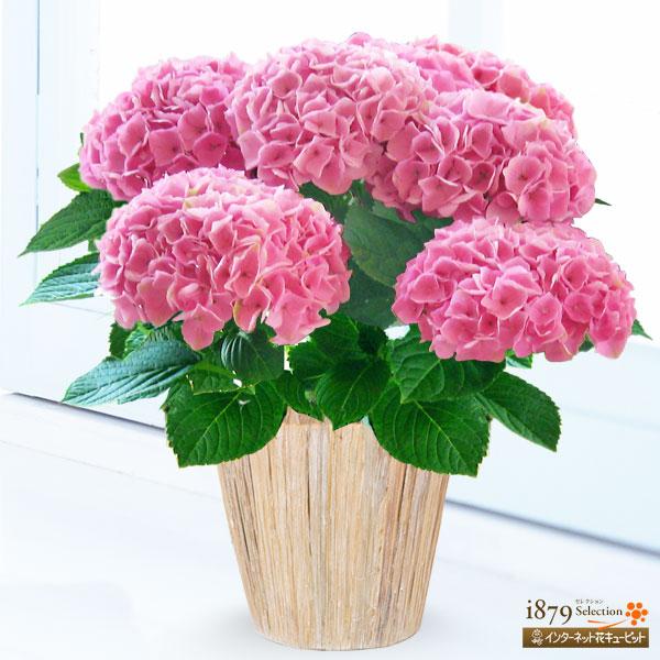 【母の日産直ギフト】母の日あじさい シーアン(ピンク)数量限定!毎年人気のあじさい「西安・シーアン」ピンク