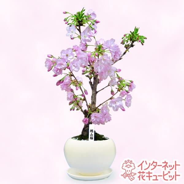 【産直鉢物(さくら鉢)】旭山桜可愛いピンクの八重咲き桜盆栽です。