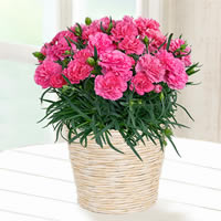 産直花鉢 カーネーション鉢 |母の日プレゼント特集2020