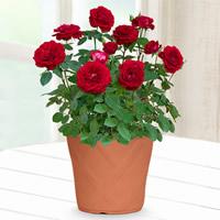 産直花鉢 バラ鉢 |母の日プレゼント特集2020