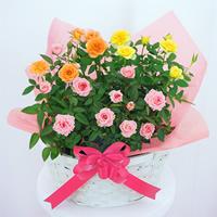 産直バラ鉢植え|母の日プレゼント特集2021