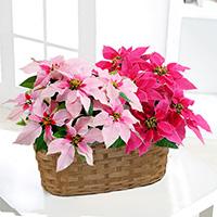 産直プリンセチア鉢植え クリスマスの花 ギフト・プレゼント特集2021