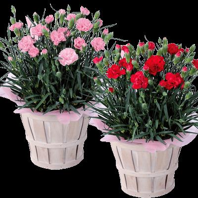 花キューピットタウン 母の日鉢物特集