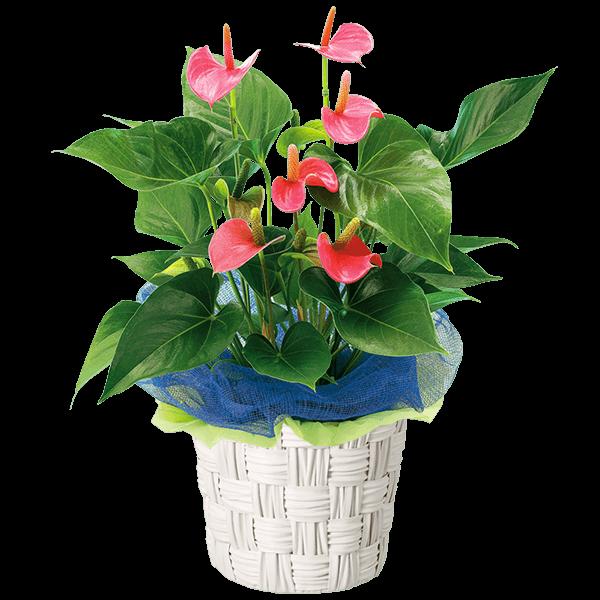 さわやかな夏のご挨拶お中元・暑中見舞い|花キューピットの夏の花贈りギフトおすすめギフト 2019