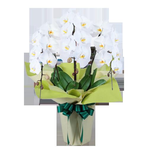 夏でも長持ちしやすいお供えの胡蝶蘭|花キューピットのお盆(新盆・初盆)おすすめギフト 2019