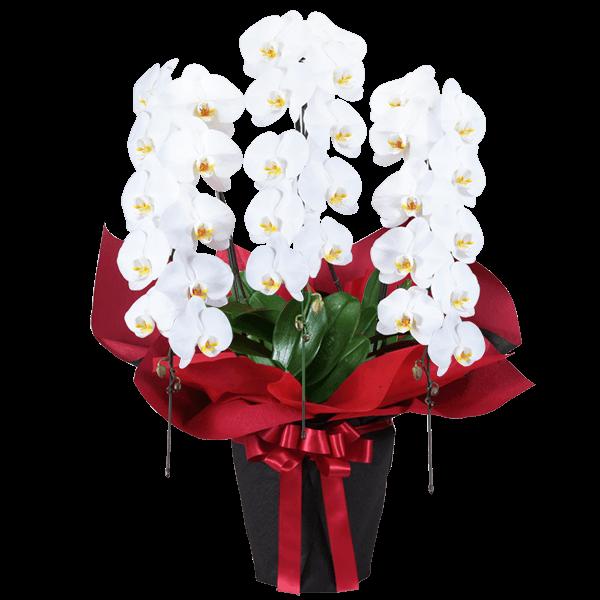 胡蝶蘭のギフト|花キューピットの秋の開店祝い・発表会のプレゼント・ギフトにおすすめ!人気のプレゼント特集 2021