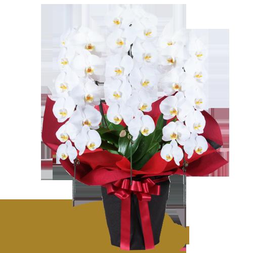 花鉢植え 胡蝶蘭|花キューピットのにおすすめ!人気のプレゼント特集 2021