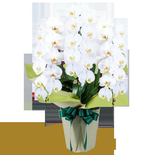 お供え 胡蝶蘭|花キューピットのお盆・新盆におすすめ!人気のプレゼント特集 2020