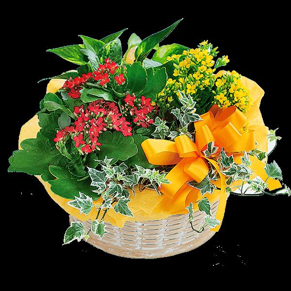 カランコエの寄せ鉢