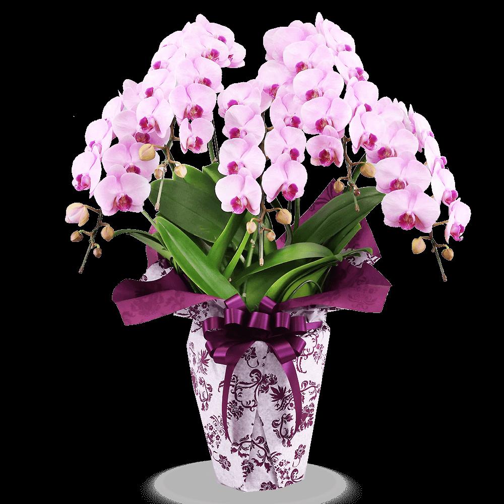 花キューピットの産直胡蝶蘭