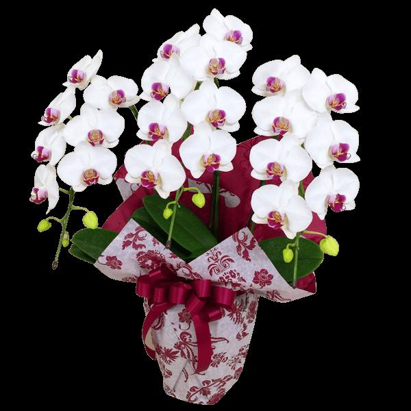 お祝いの花の最高峰 産直胡蝶蘭|花キューピットの秋の発表会・展覧会におすすめ!人気のプレゼント特集 2019