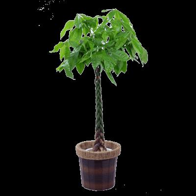開店・開業祝い 観葉植物