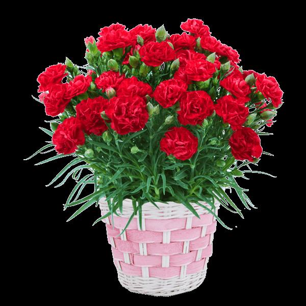 矢祭園芸 平園芸 カーネーション鉢|花キューピットの母の日におすすめ!人気のプレゼント特集 2019