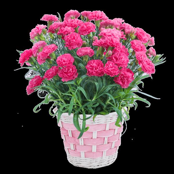 迷ったらこちら産直花鉢おすすめランキング|花キューピットの母の日におすすめ!人気のプレゼント特集 2019
