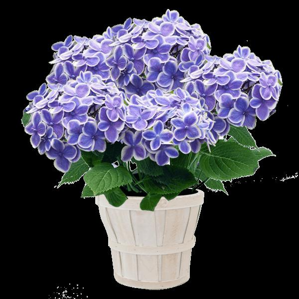 登坂園芸 あじさい鉢|花キューピットの母の日におすすめ!人気のプレゼント特集 2019