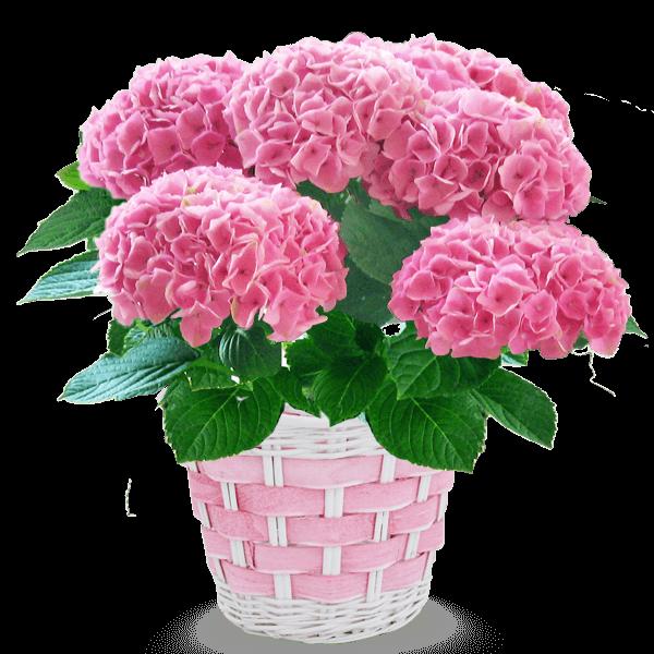 長谷川園芸 あじさい鉢 |花キューピットの母の日におすすめ!人気のプレゼント特集 2019