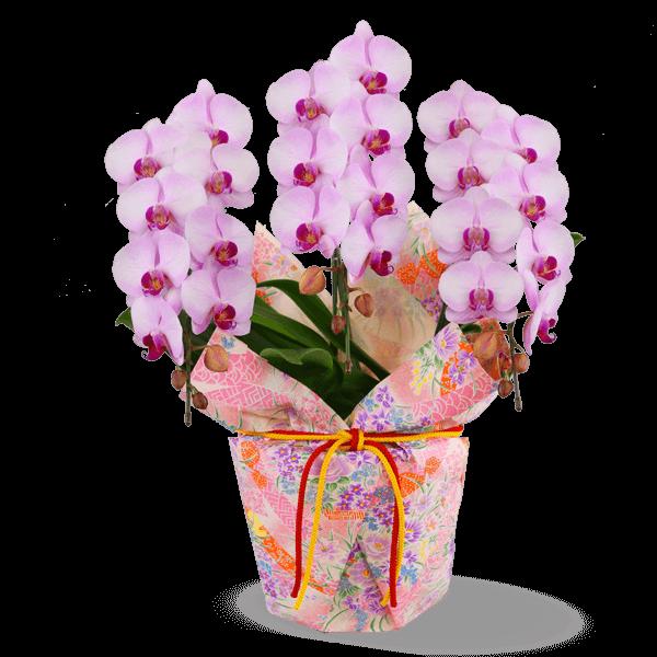 モテギ洋蘭園 ミディ胡蝶蘭鉢 |花キューピットの母の日におすすめ!人気のプレゼント特集 2019